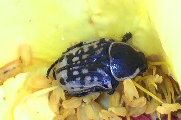 Kern's flower scarab