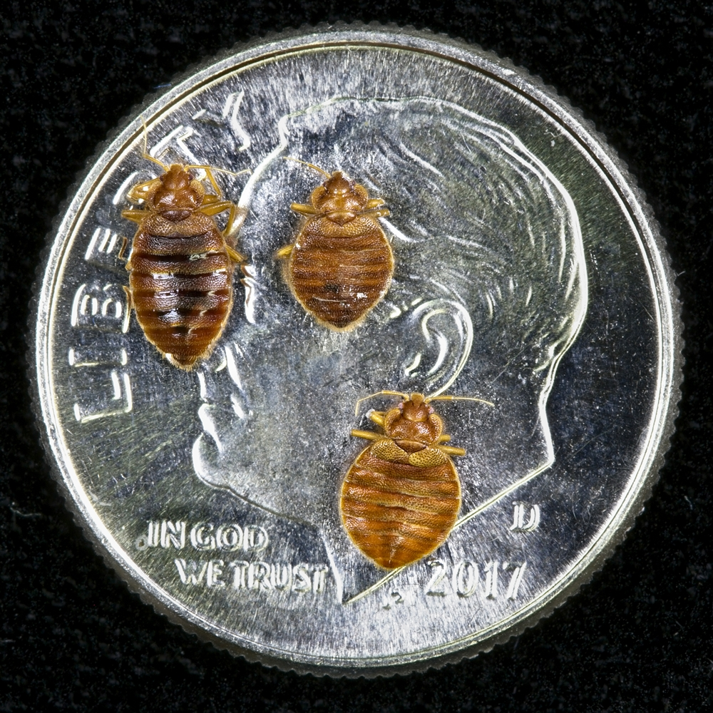 Bed bugs on a US dime