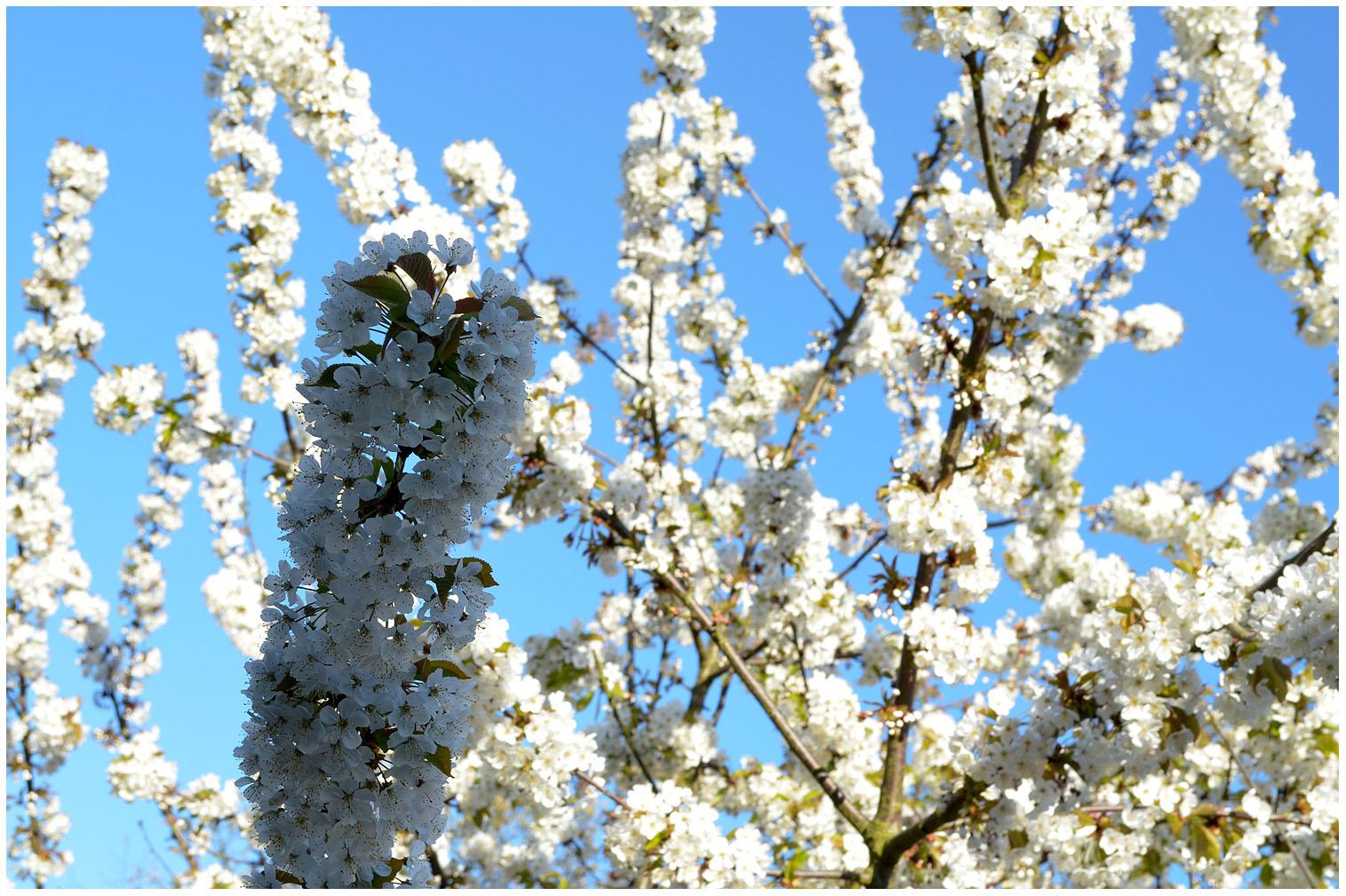 Cherry tree in full bloom.jpg