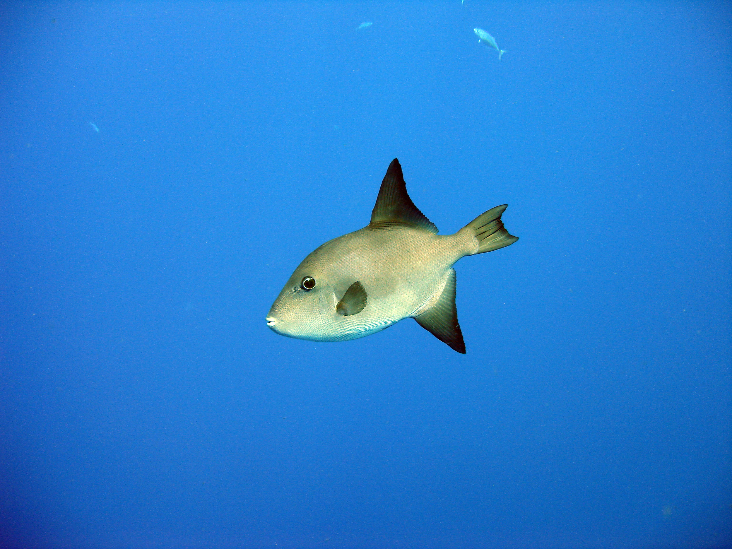 Trigger Fish in Cozumel. Almost looks photoshopped doesn't it?