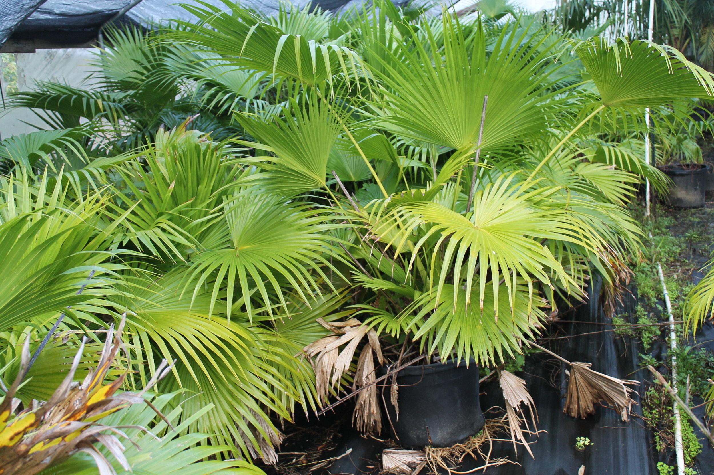 chinese fan palm large1.JPG