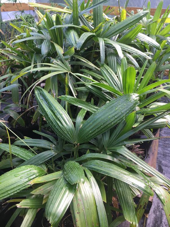 lady palm4.jpg