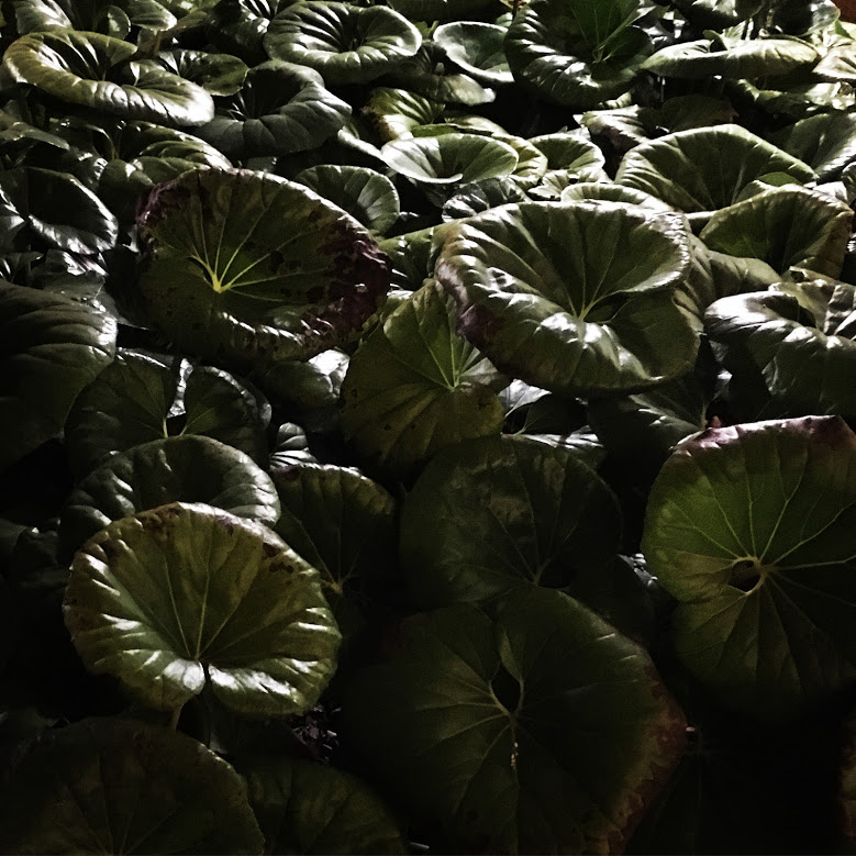 ligularia gigantea.jpg