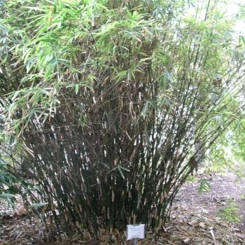 Bambusa Multiplex 'Fernleaf