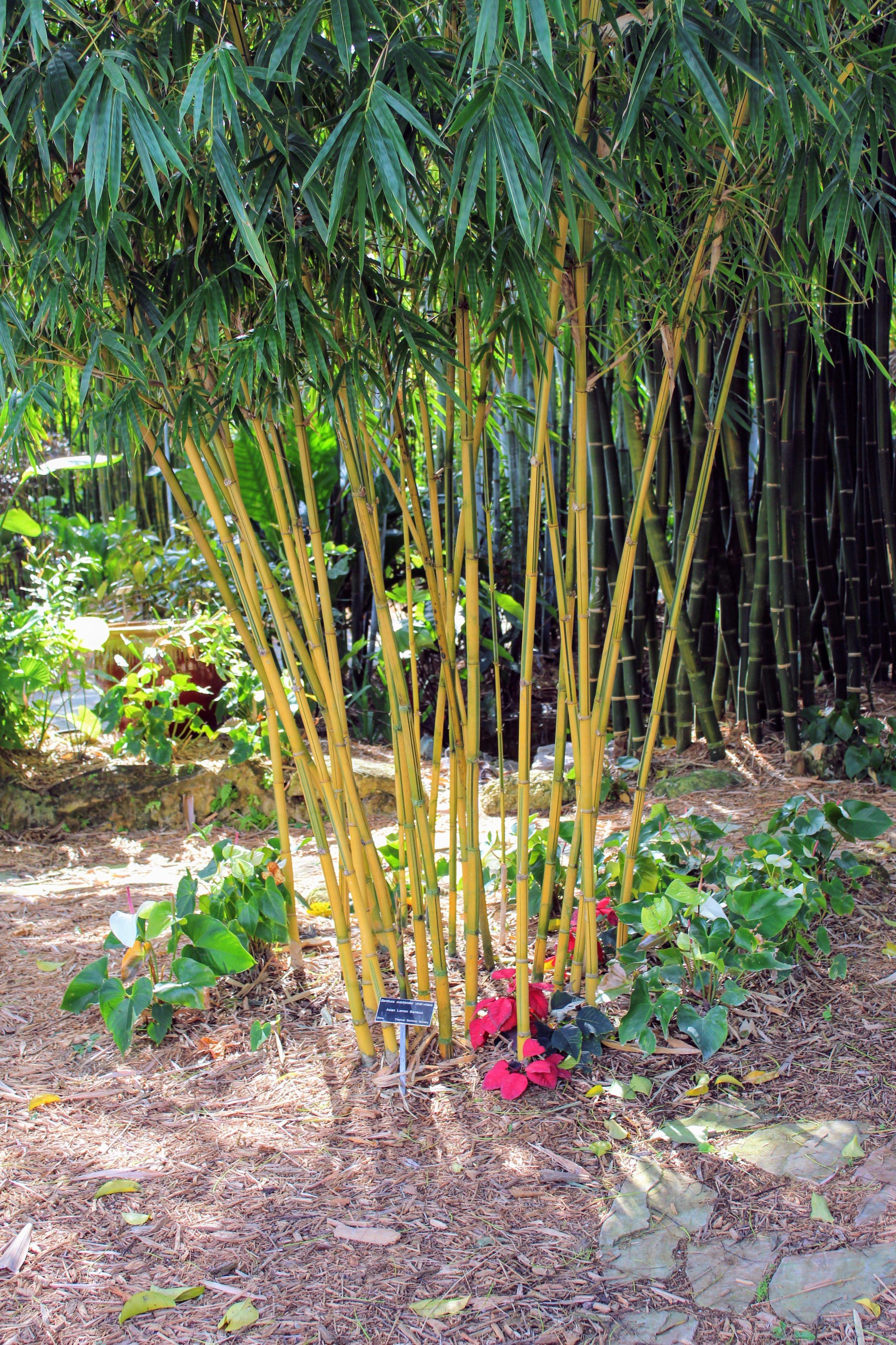 asian lemon bamboo1 copy.jpg