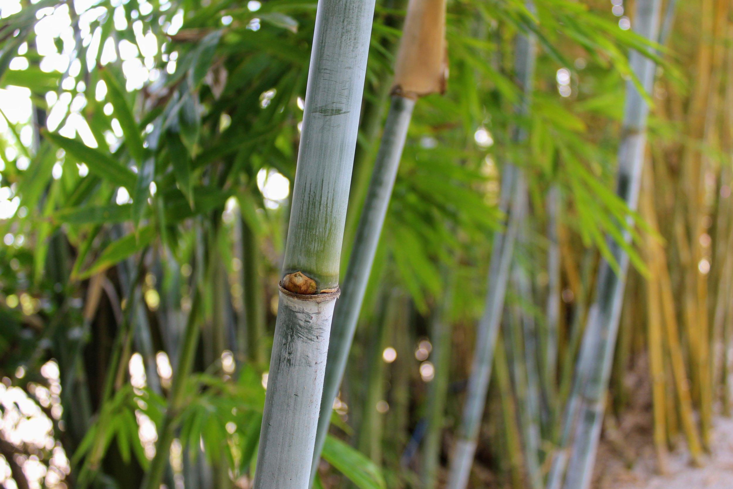 b. chungii barbellata5.jpg