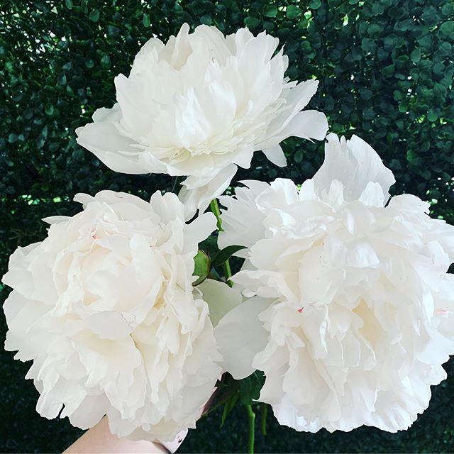 It's just a great weekend for flowers ❤️ these peonies are to die for! #artistryinbloom #417florist #weddingflorist #bransonweddings #bigcedarwedding #whitepeonies
