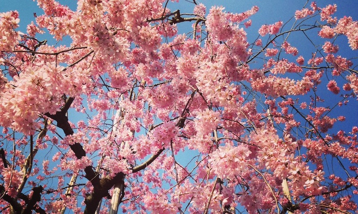{Cherry blossoms in Tokyo}