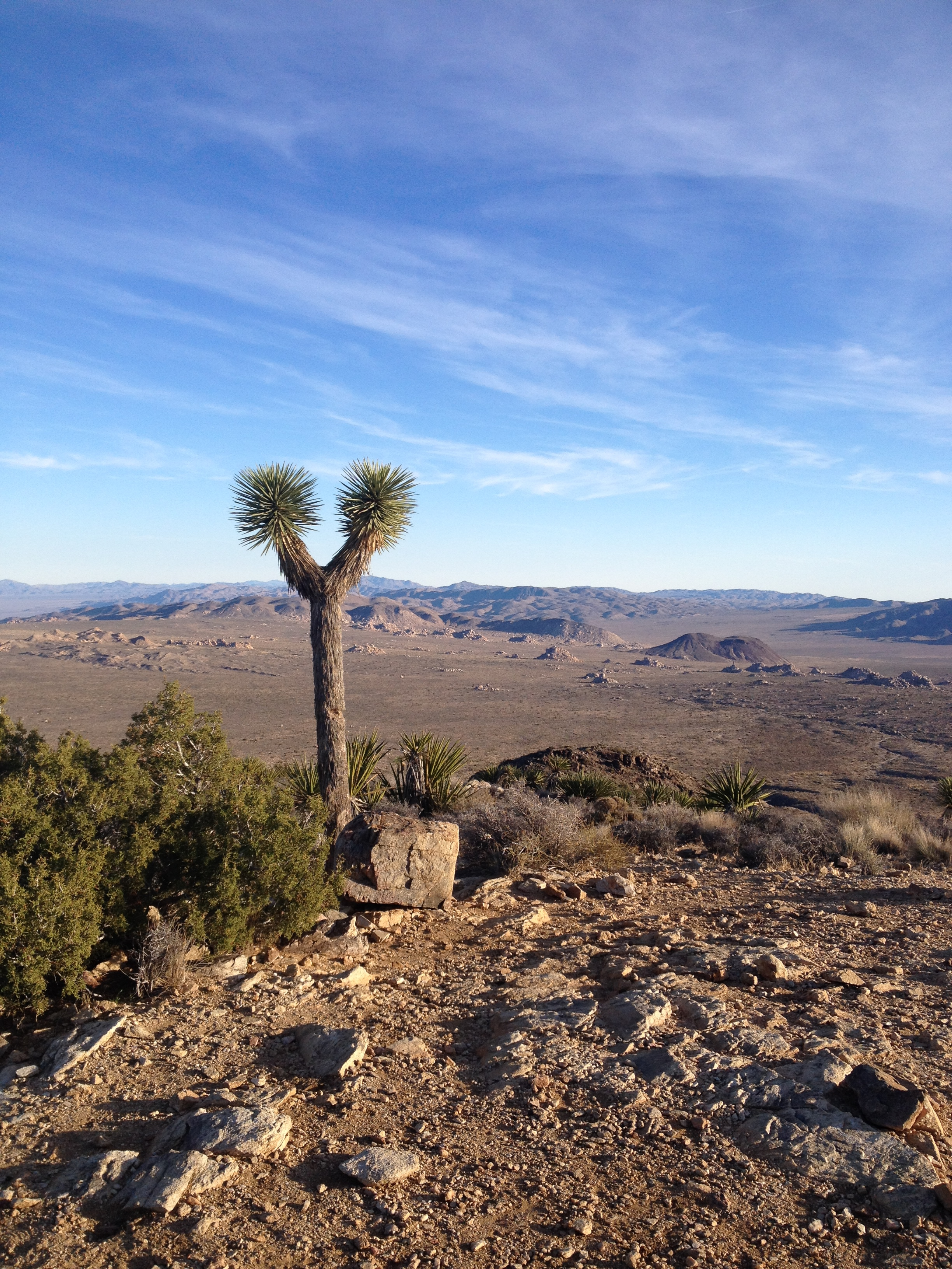 A Joshua Tree at the mountaintop of a hike.