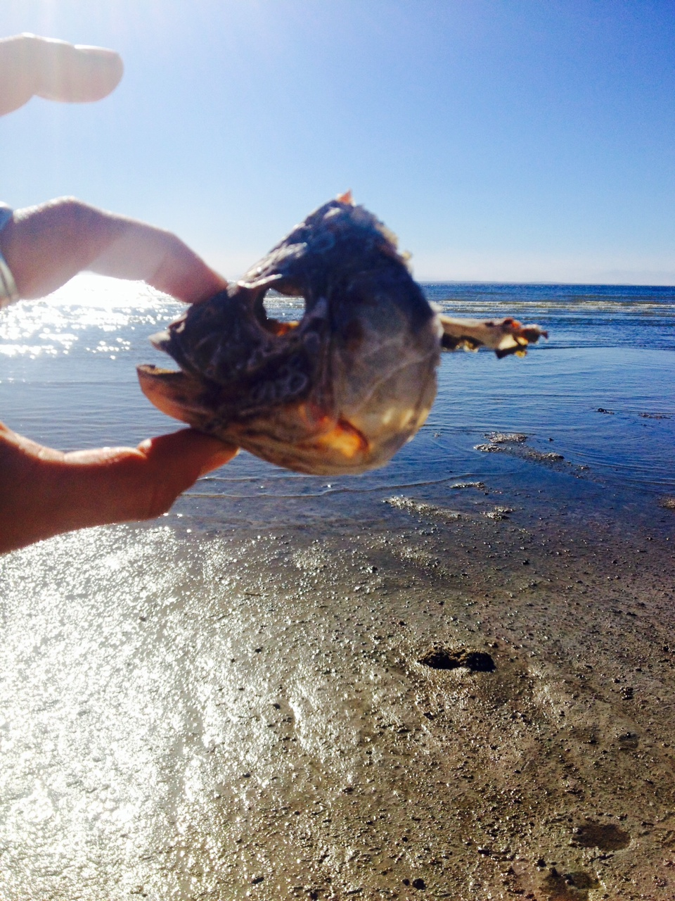 Salton Sea fish head 2.JPG