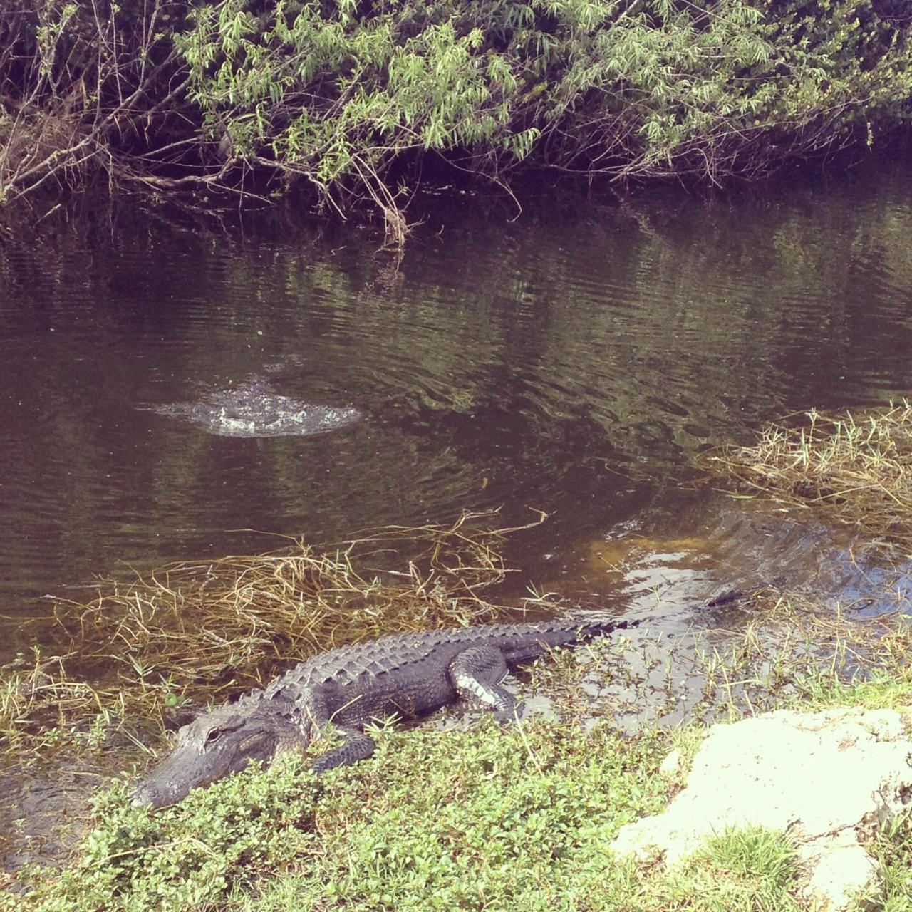 Alligator 3.JPG