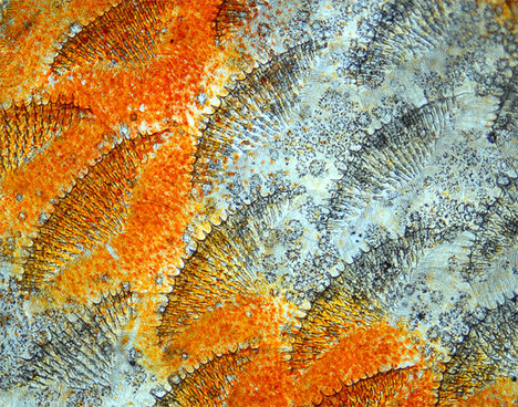 fish scales discus.jpg