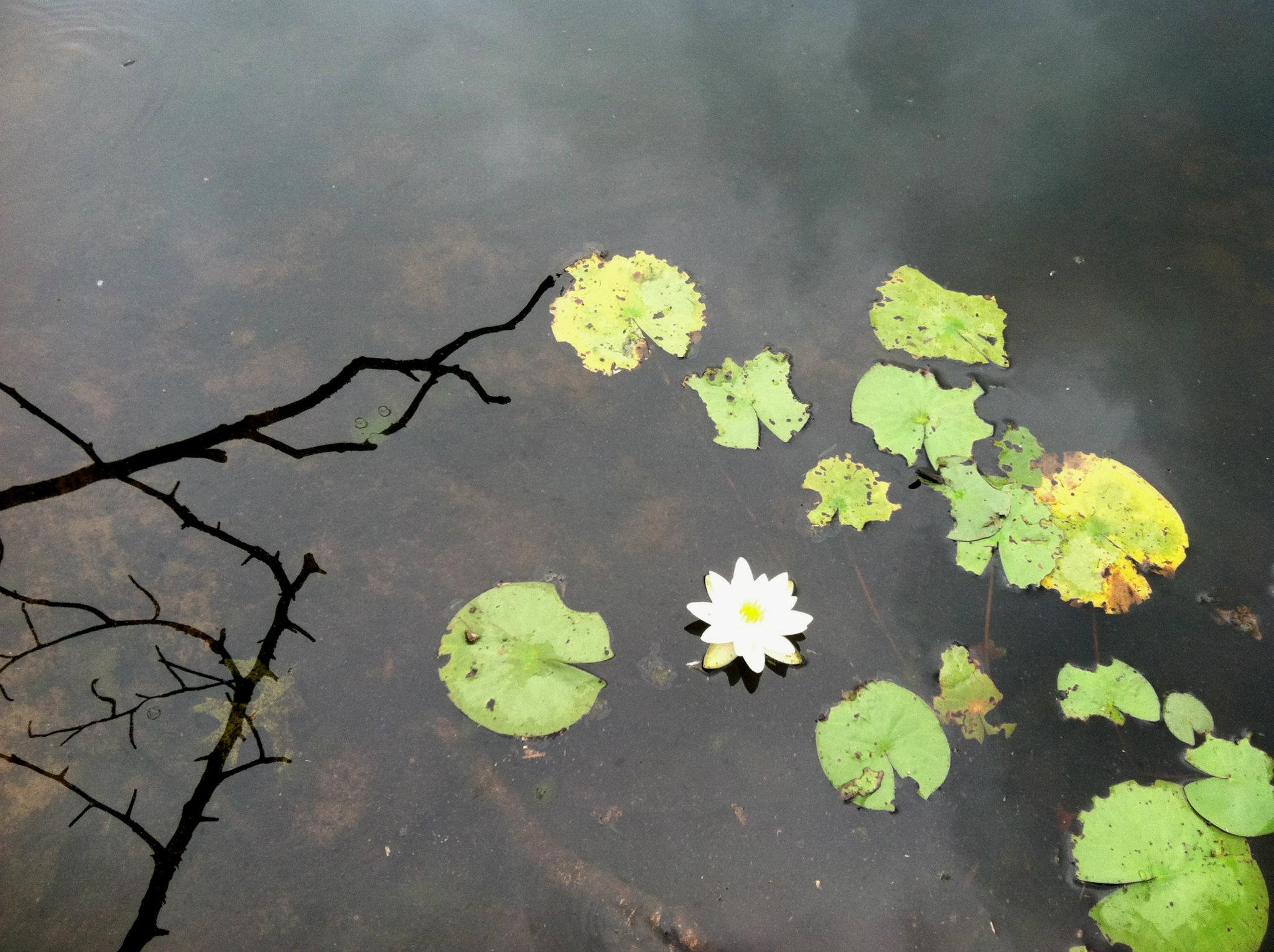 Native water lily flowering on Scoy Pond in late June.