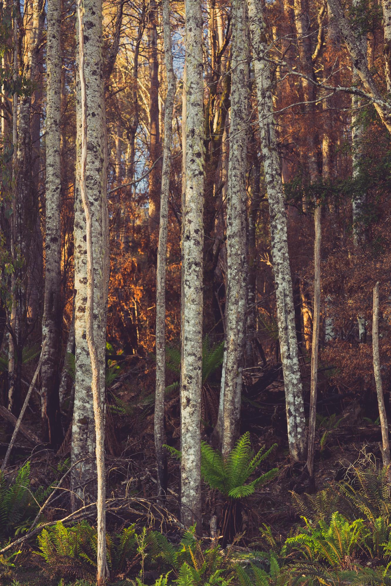 tasmanian birch.jpg