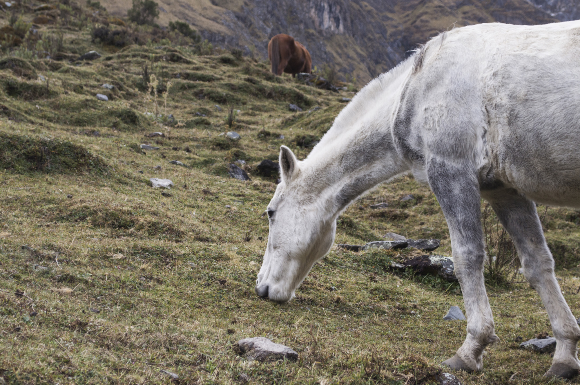 Inca 1 horse close up.jpg