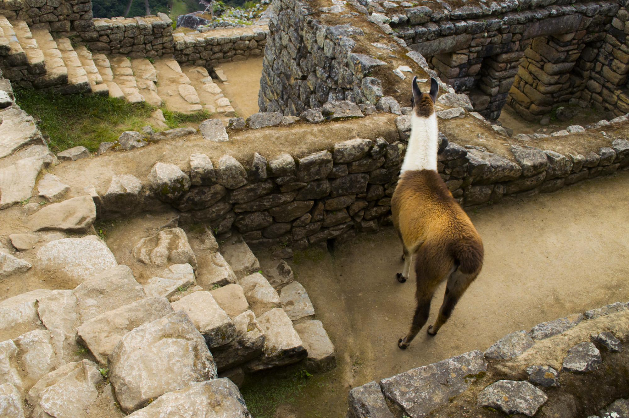 Inca 5 llama at MP.jpg