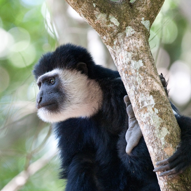 "COLOBUS MONKEY - These acrobatic monkeys can be seen leaping from tree to tree in the forest canopy of the rain forest, and rarely descend to the ground. They are black with an impressive long ""cape"" of white hair and a long flowing white tail. These social animals live in groups of three to fifteen members, usually with just one male. In the past, they were hunted by local tribes for their striking black-and-white coats, but their biggest threat today is deforestation."