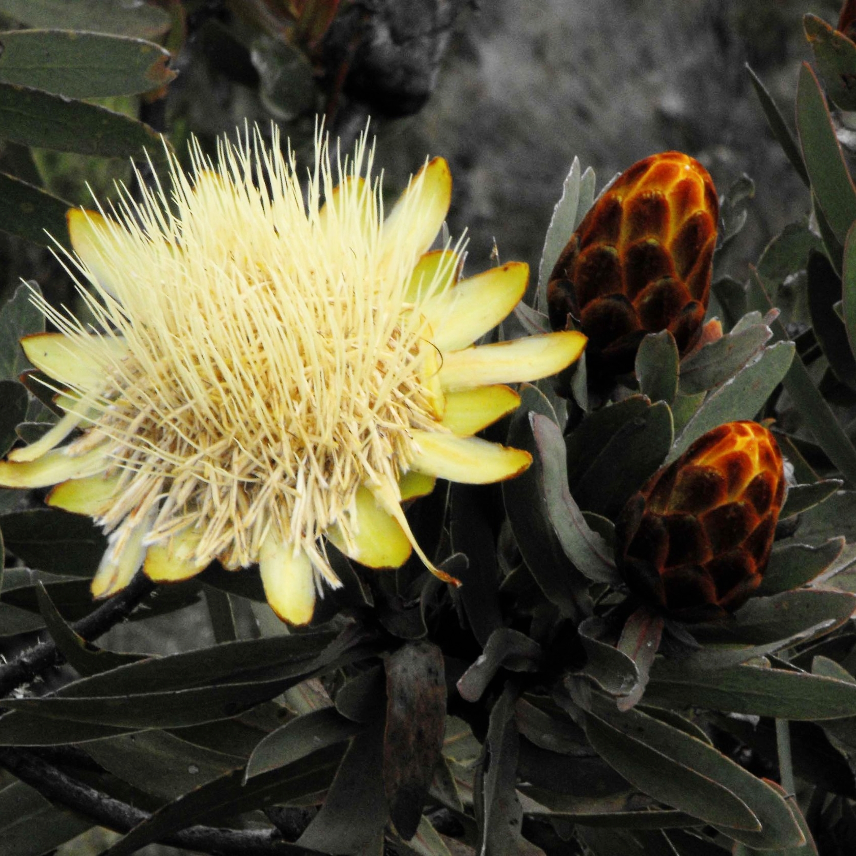 PROTEAS - The floral emblem of South Africa, these everlasting flowers are found in the Heath zone of Kilimanjaro. It's rare to see them flower. In fact, it's not a unitary flower, it's actually a collection of flowers that are densely packed into a bulb that opens up at a certain stage of its maturity. At full maturity the flowers dry and open up appearing to have been burnt by a bush fire.
