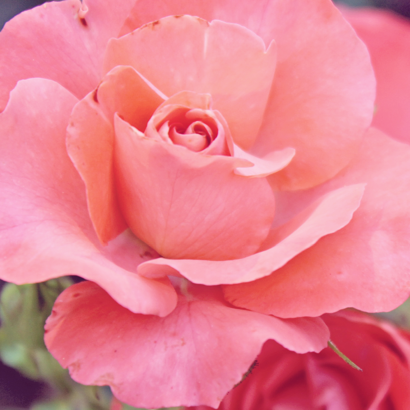 coral rose edited.jpg