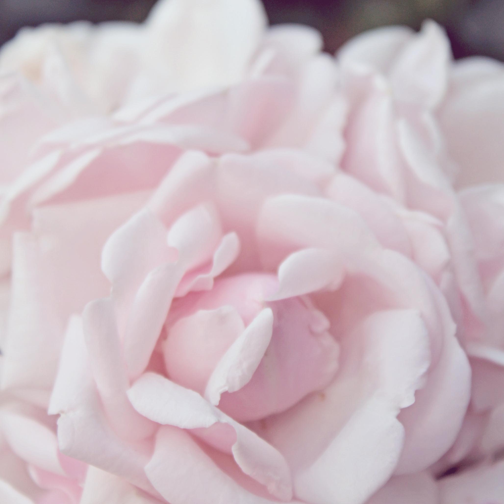 pink rose edited.jpg
