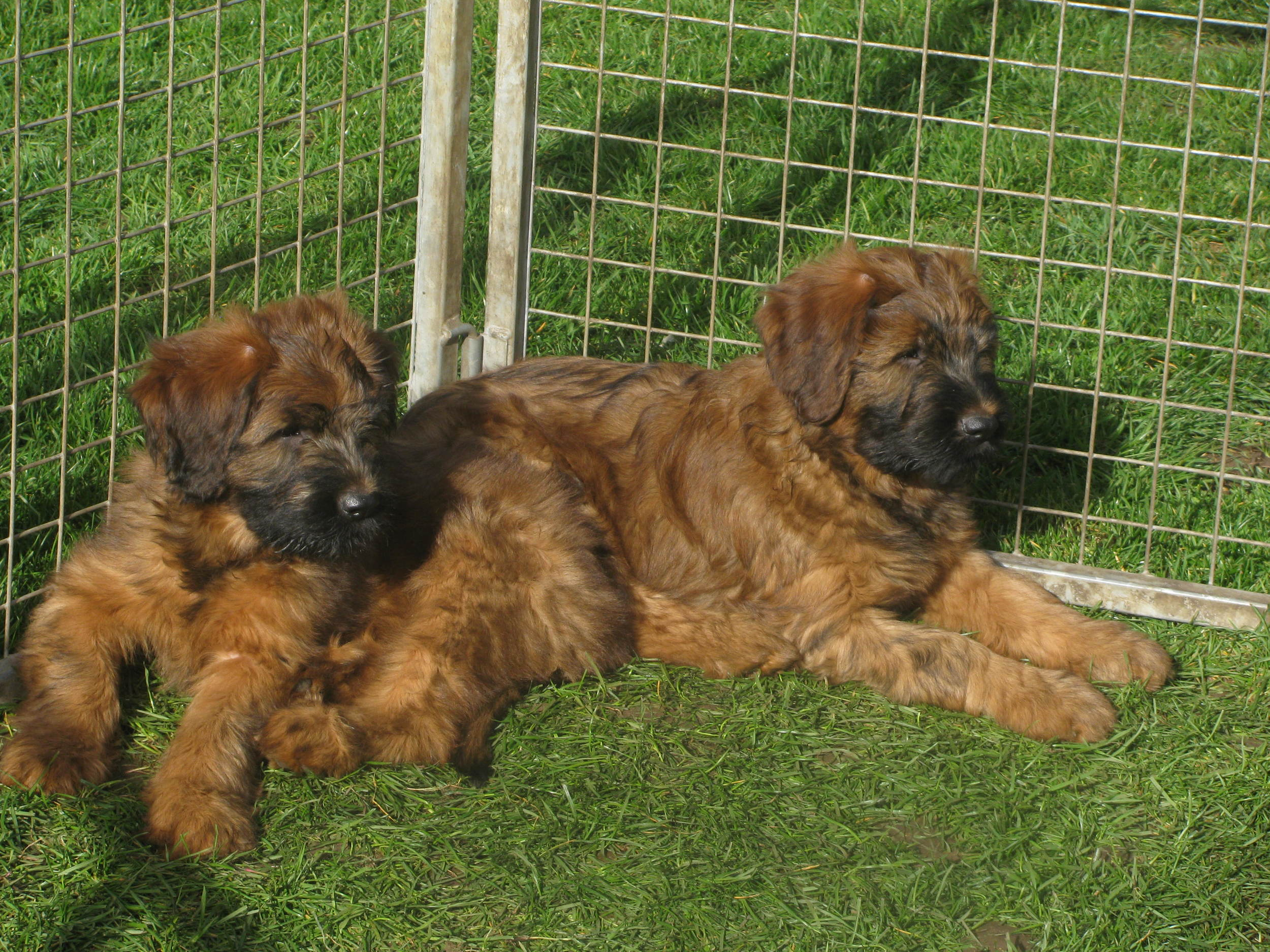 Lana x Buzz pups 9 weeks 032.JPG
