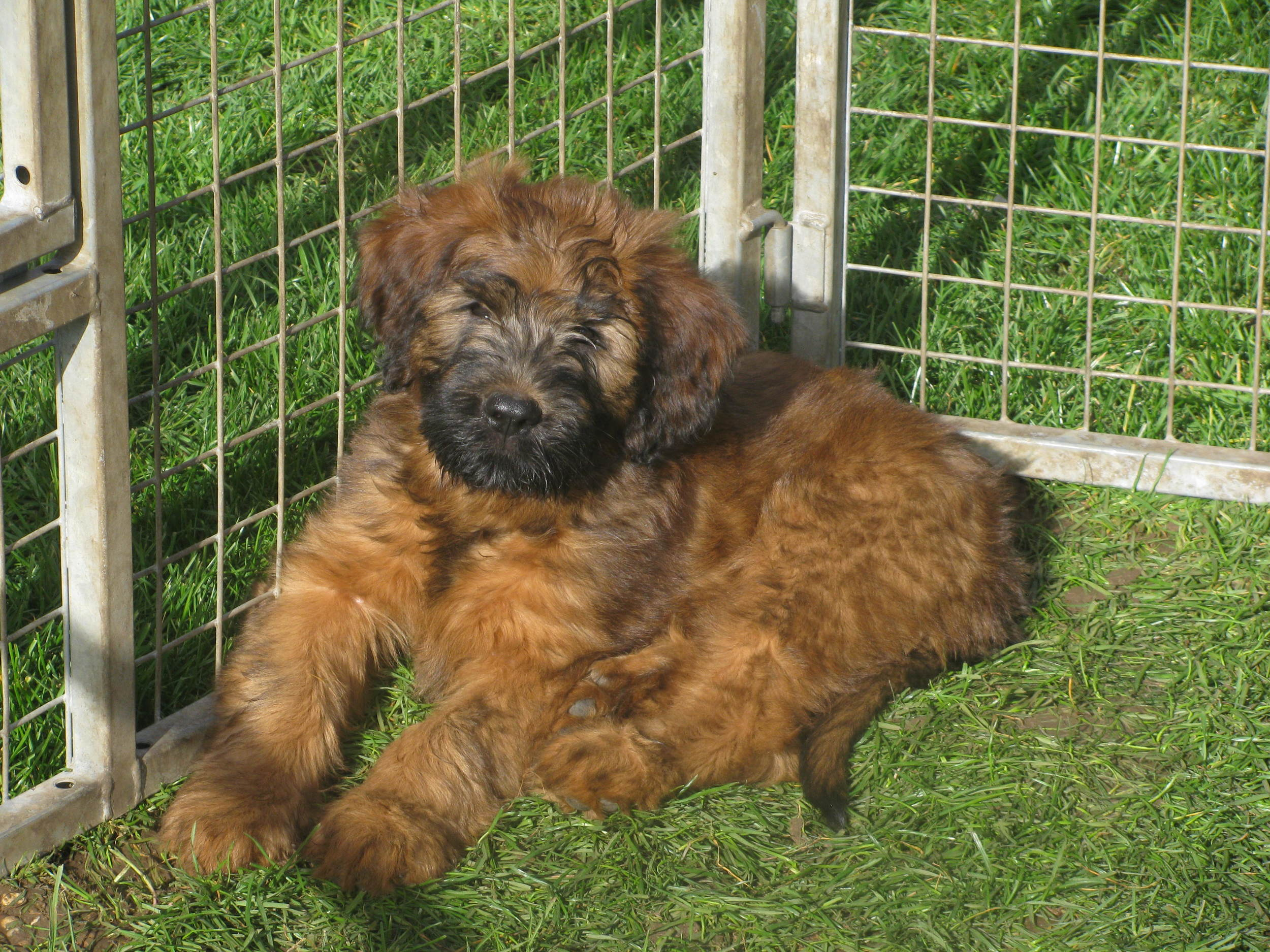 Lana x Buzz pups 9 weeks 030.JPG