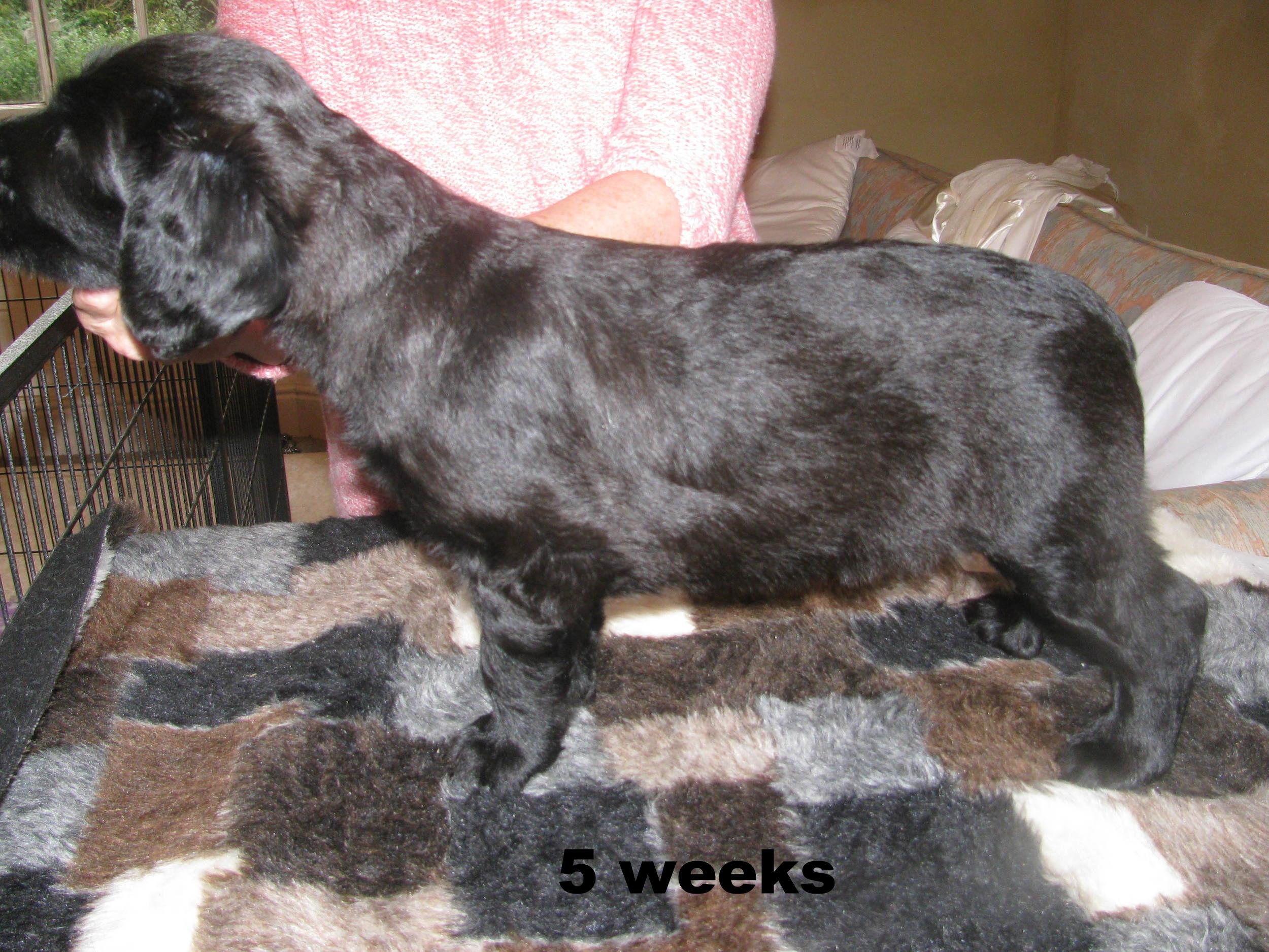 Ella x Dougal Pups 035 5 wks.JPG