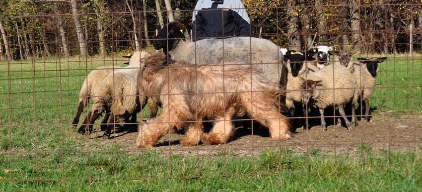 1st herding lesson c.jpg