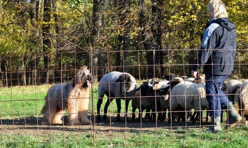 1st herding lesson i.jpg