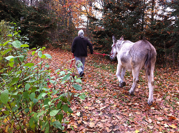 Jill had to drag Molly home. They were very tired donkeys after all of their adventures.