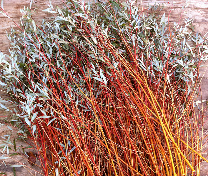 Flame willow ready for stripping.