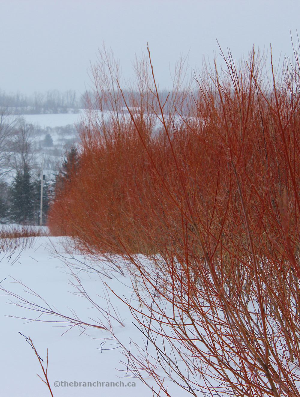 Flame willow in the field.