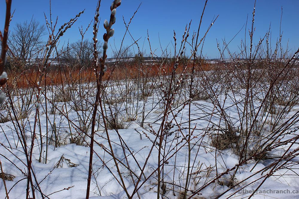 pussywillow5.jpg