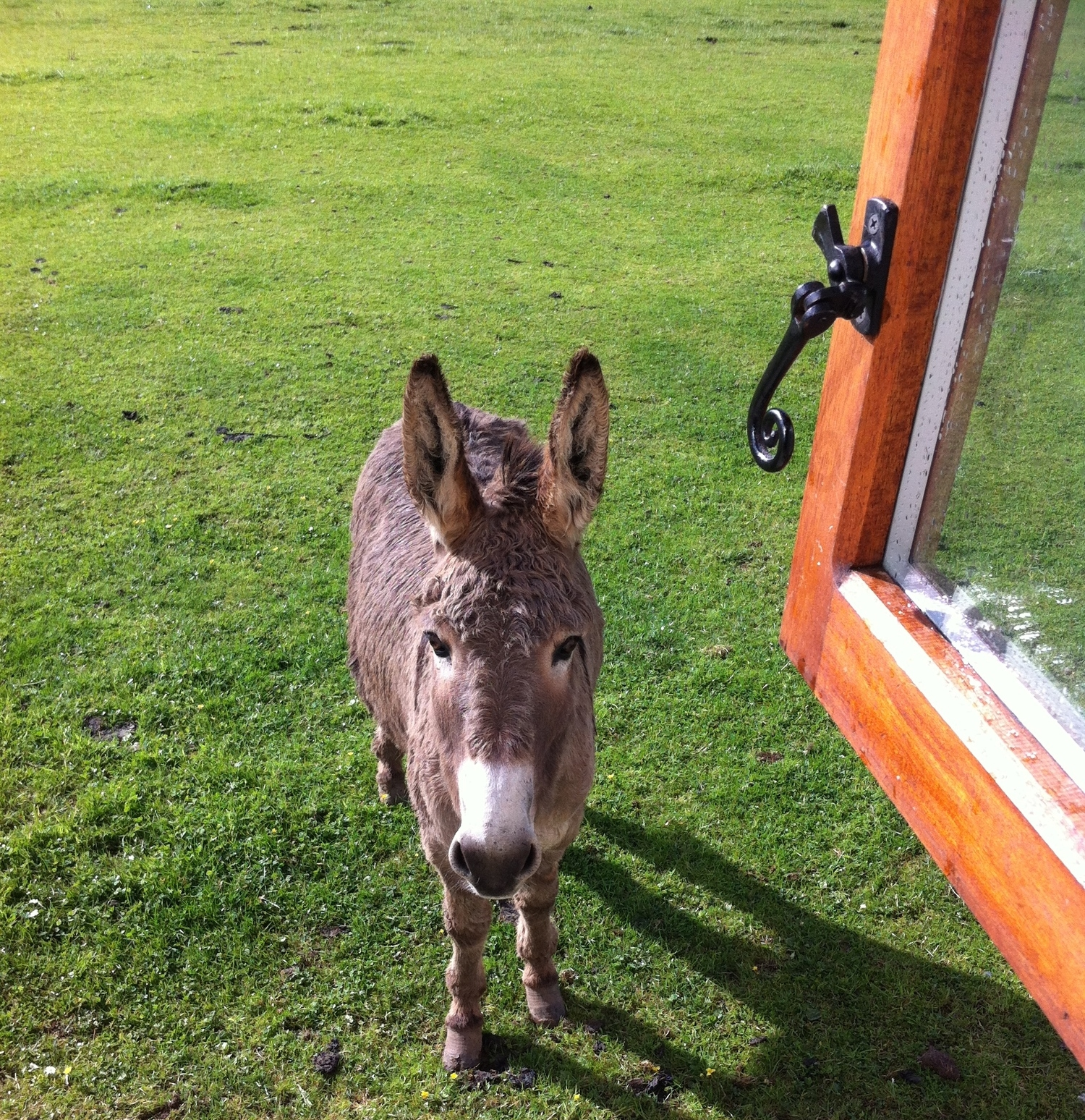 Dinky the Donkey at the kitchen window.