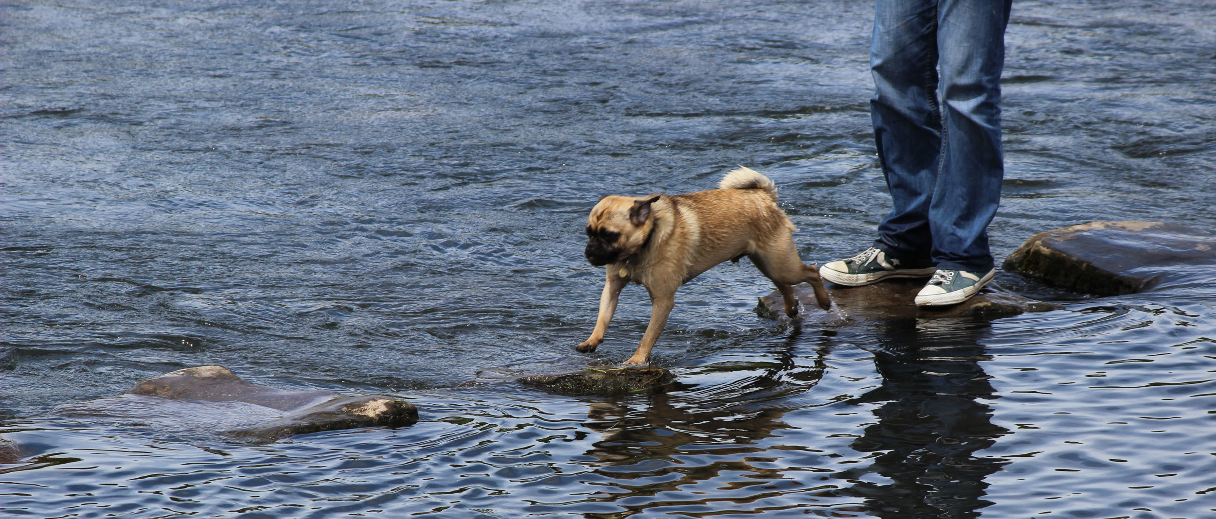 A brave dog hopping the stepping stones by Ogmore Castle ruins.