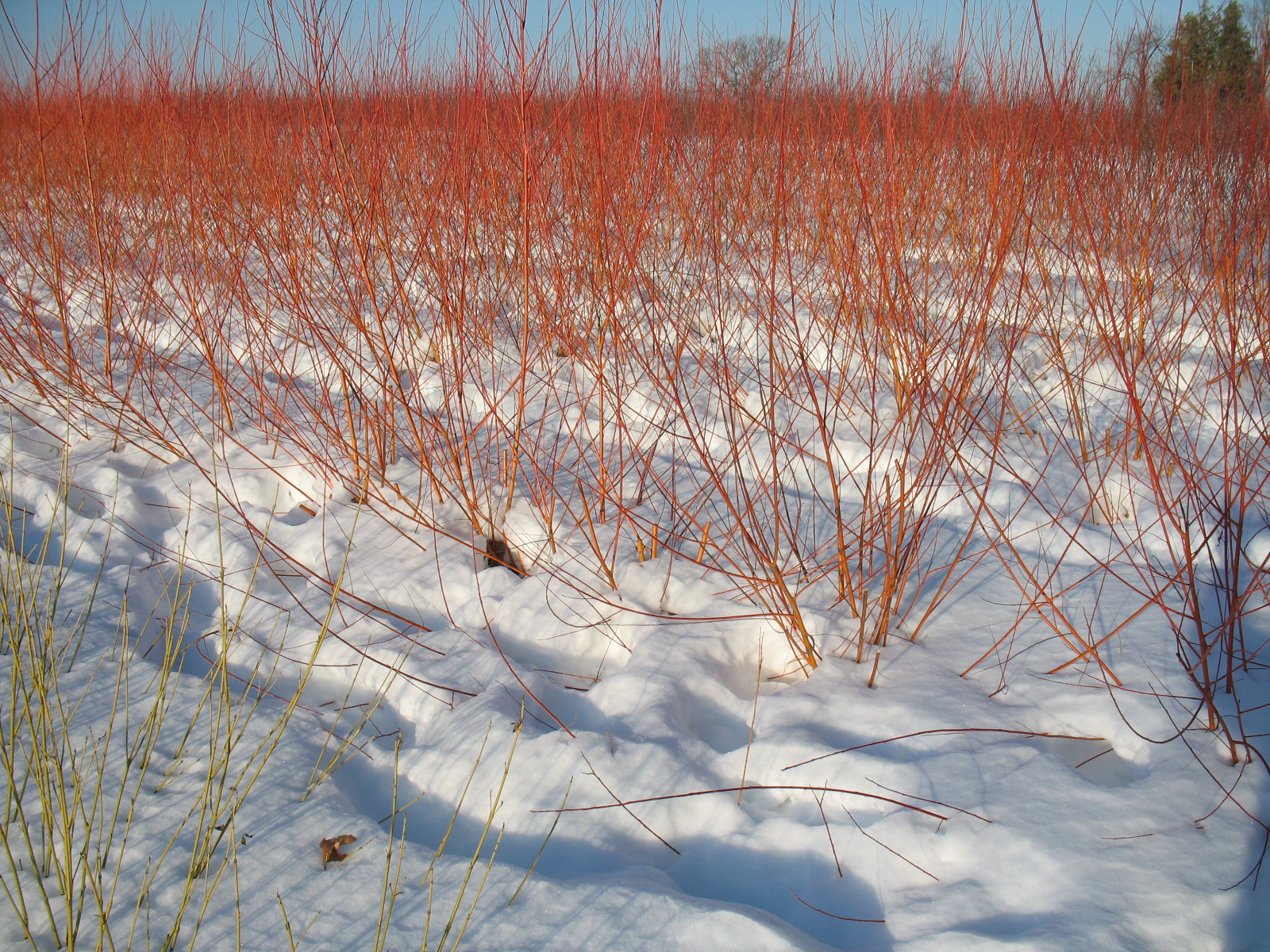 Spectacular fire-orange Flame willow.