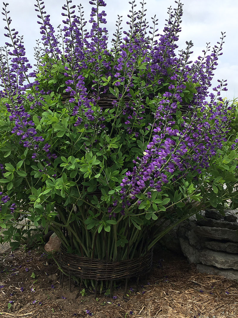 Mary's false indigo is a perfect plant to grow in her Plant Collar