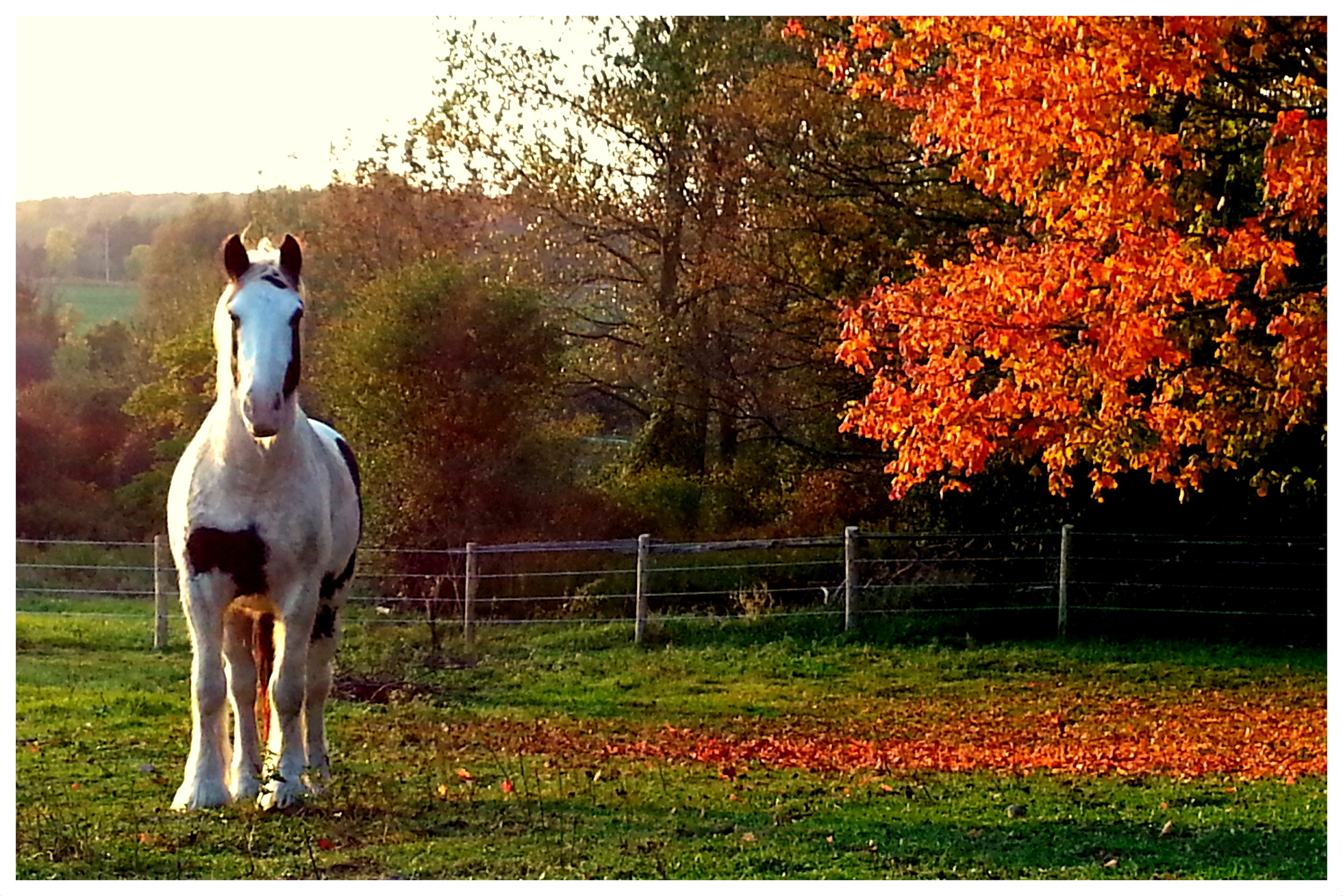 Prairie Thunder Clancy, five year old Gypsy available fore co-board