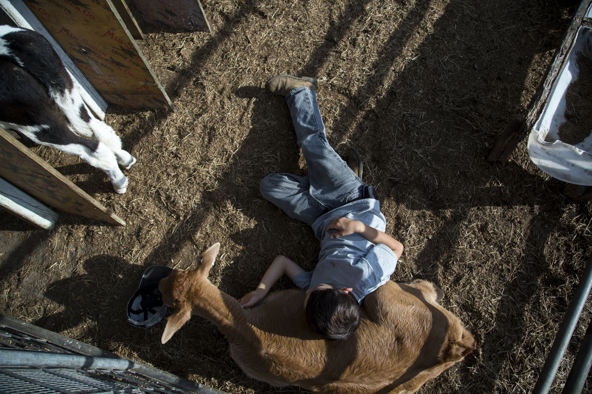 "Alex Busciglio, 9, lays in the calf pin at Tower Dairy, in Tampa, Florida, on March 24, 2017. Alex and his brother Dominic, 5, love spending time on the farm, calling the cows ""Moo-Moo's,"" and riding in the Bobcat with their dad, Jeff."
