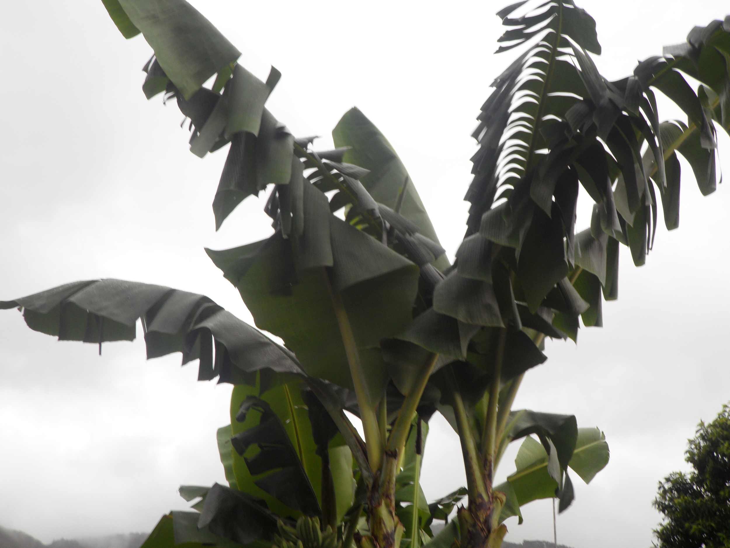 More banana trees