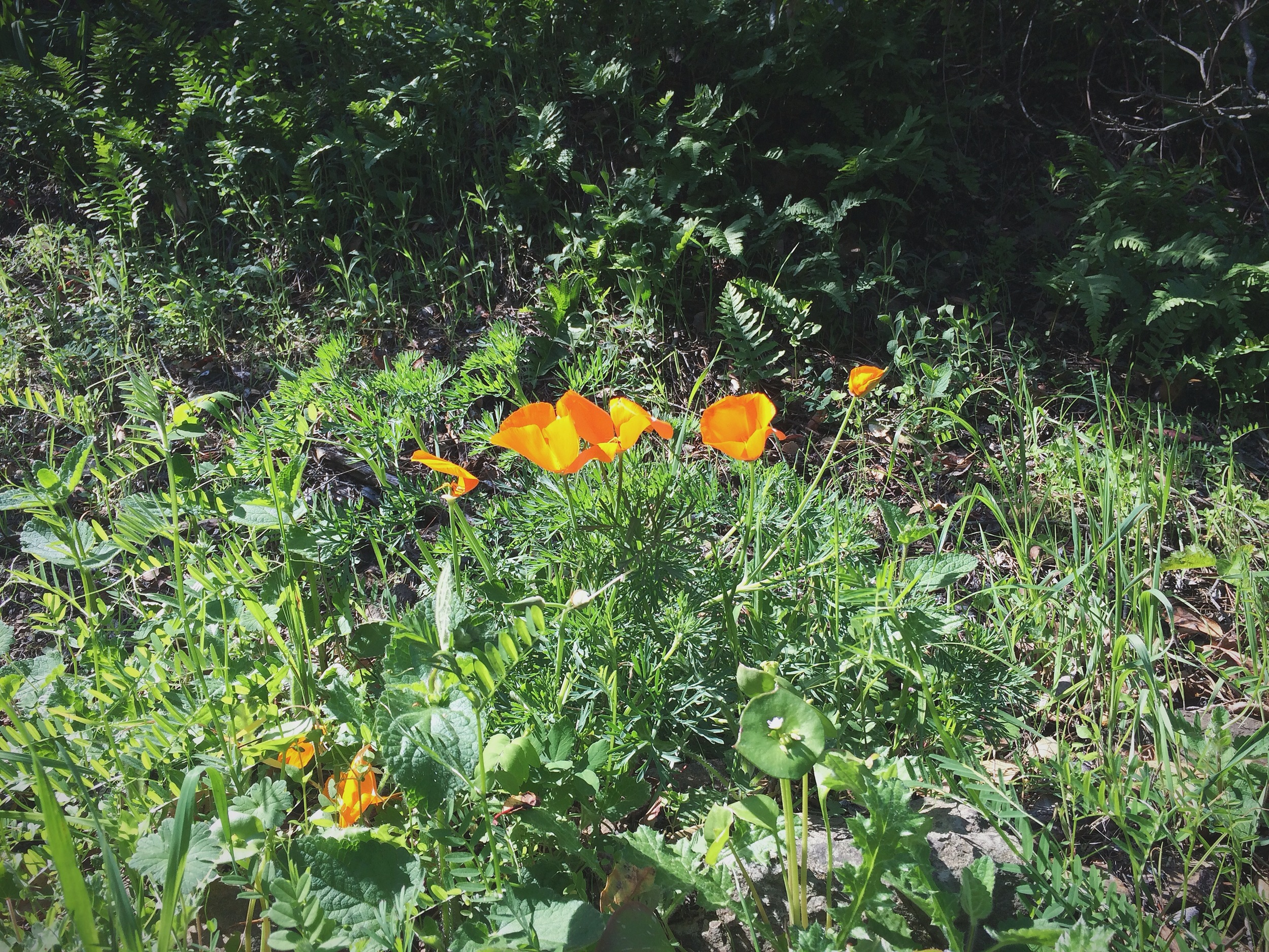 Well, these I do know--they're our California Poppies.