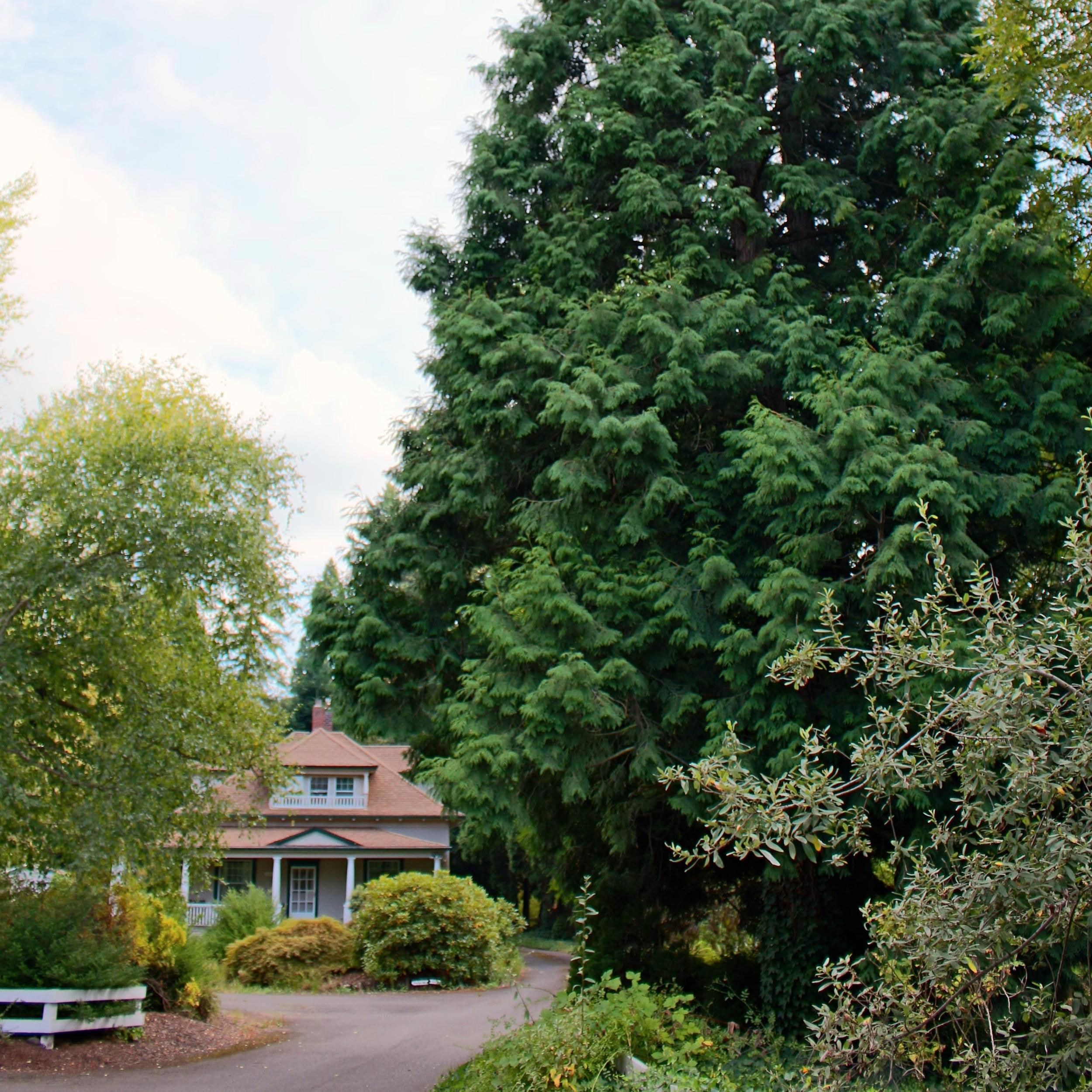 A vintage bungalow and a Hogan cedar near our home outside Portland, Oregon