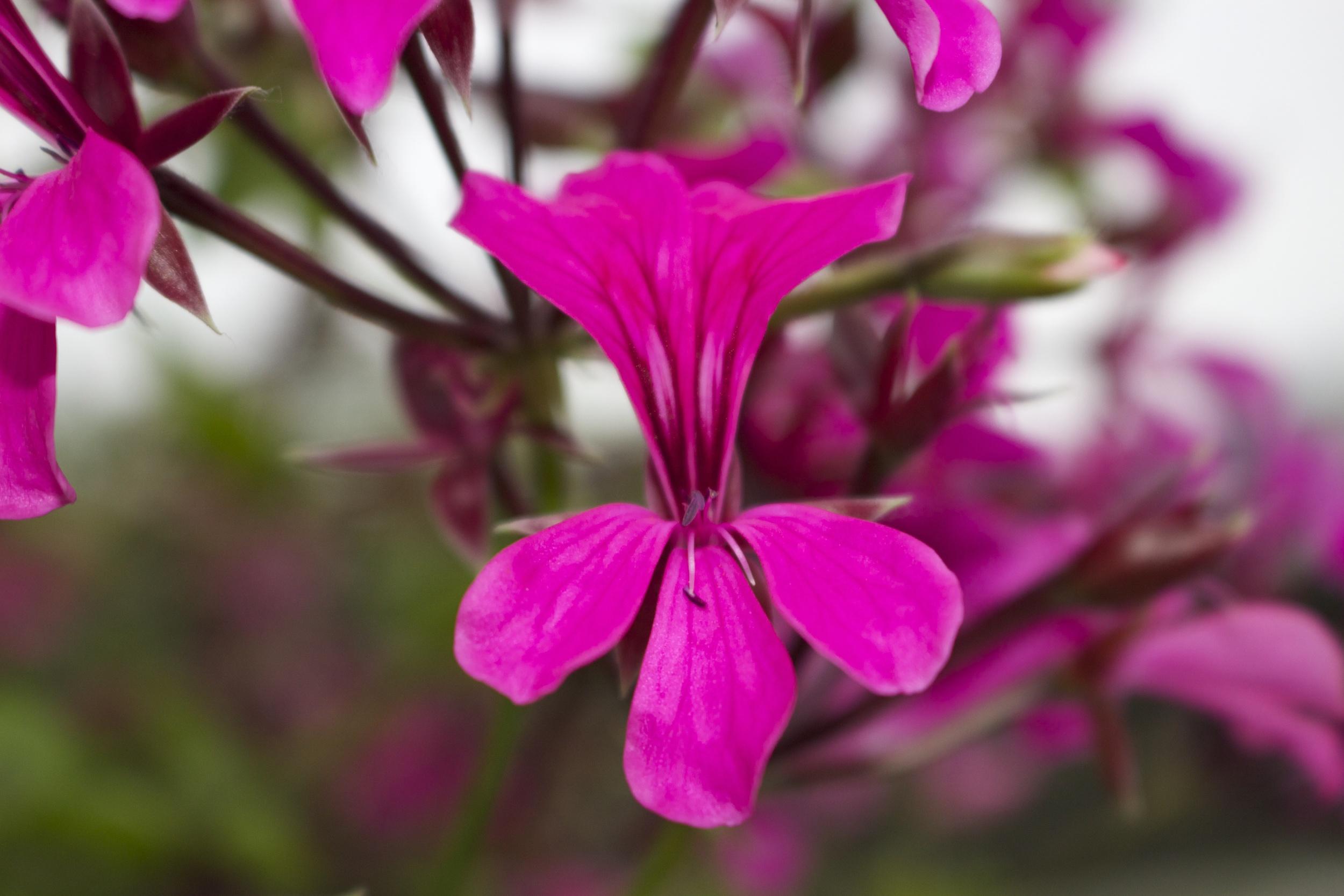 pergolarium geranium hot pink.jpg