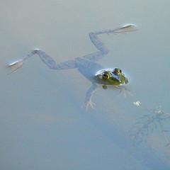 frog by wolfpix flickr.jpg