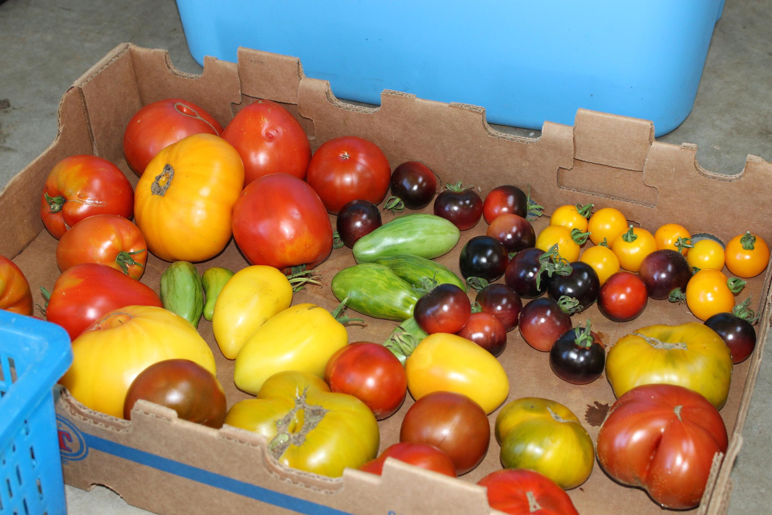 Heirloom tomatoes harvested in August