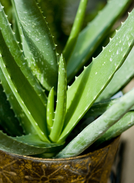 Aloe plant by  Andrew Rivett