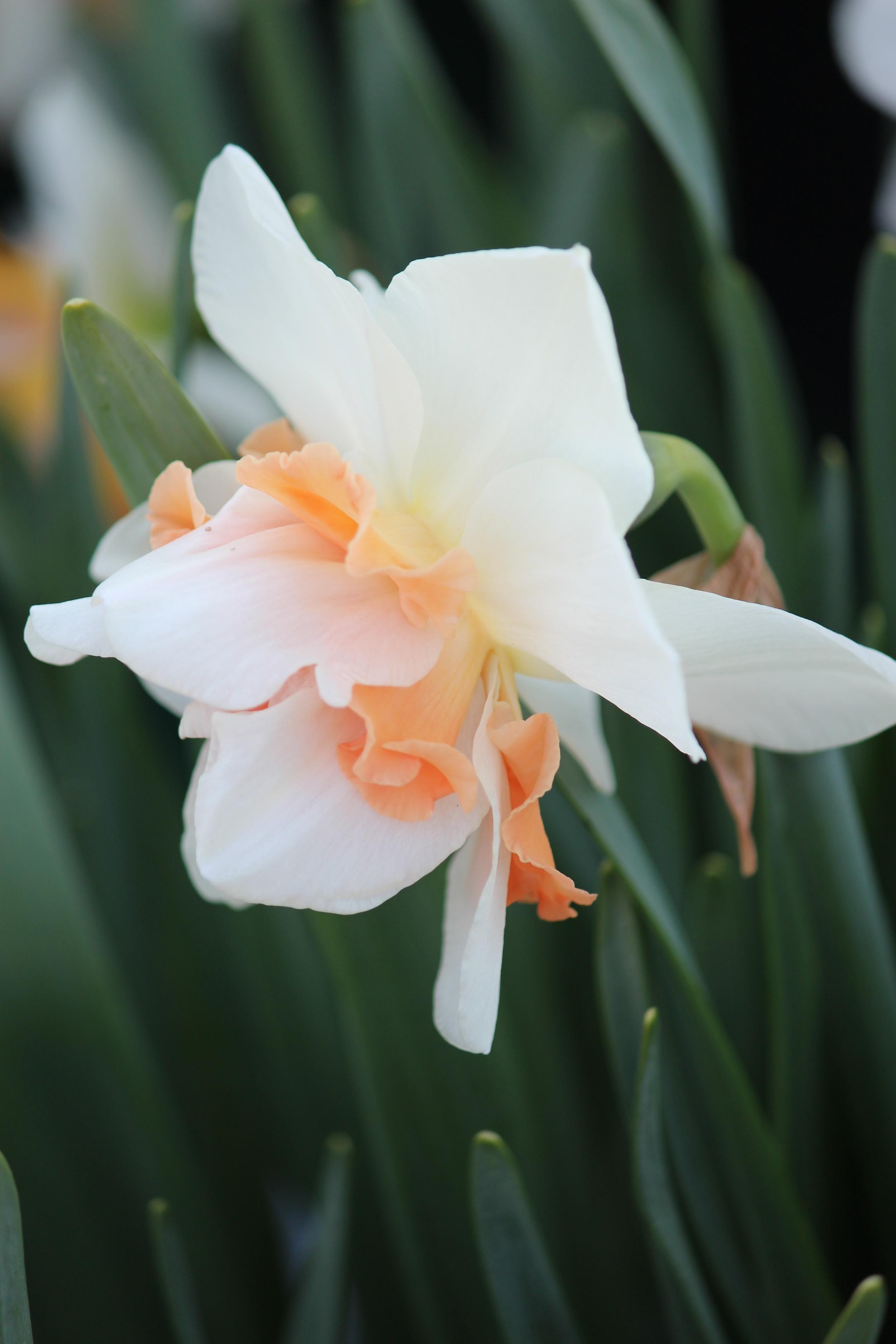 Woodburn Oregon Daffodil Jonquil