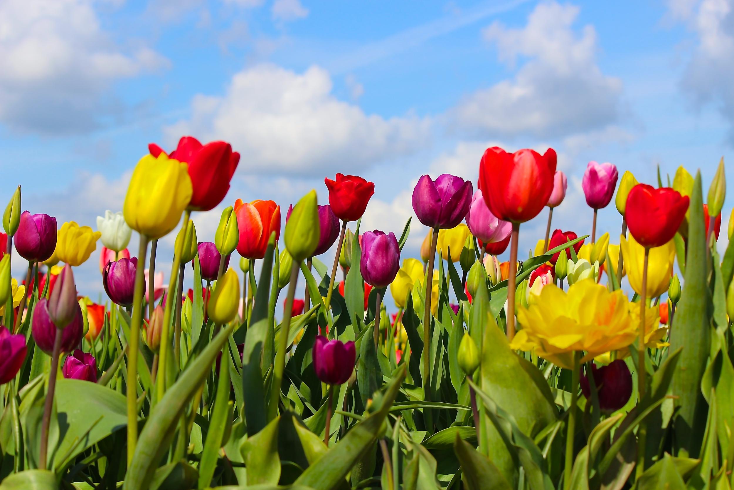 Woodburn tulip fest 2014 Intentional Mama