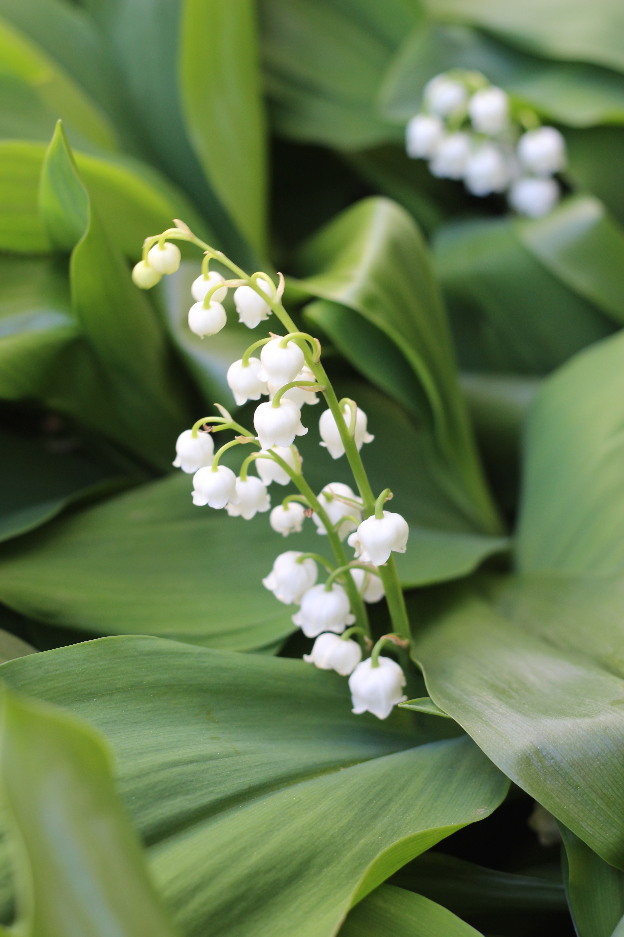 The Lily of the Valley in my garden