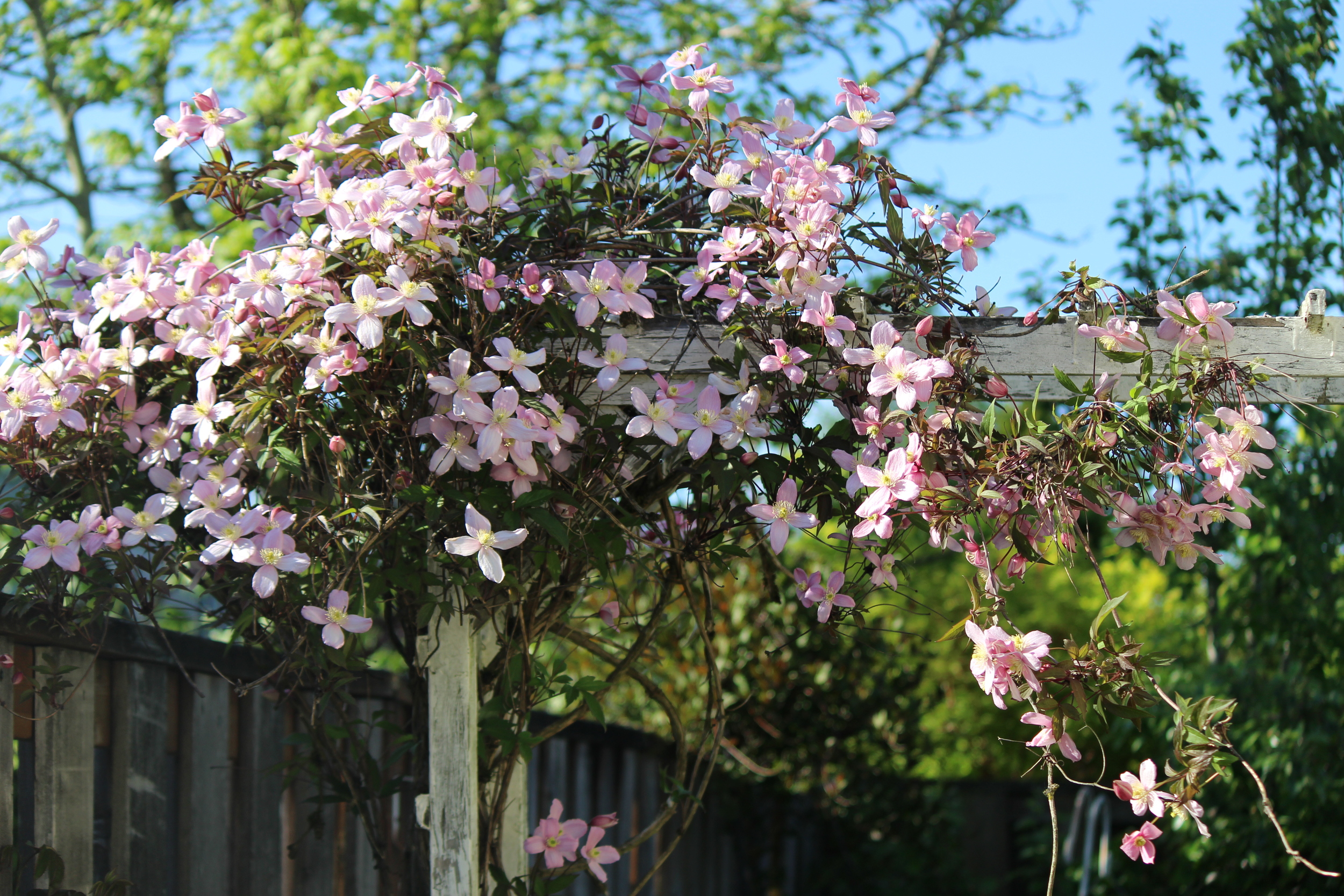 Pink spring-blooming Clematis on our trellis